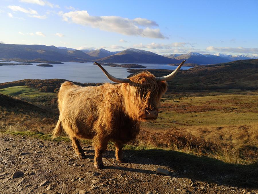 conic hill highland cattles loch lomond atrakcje