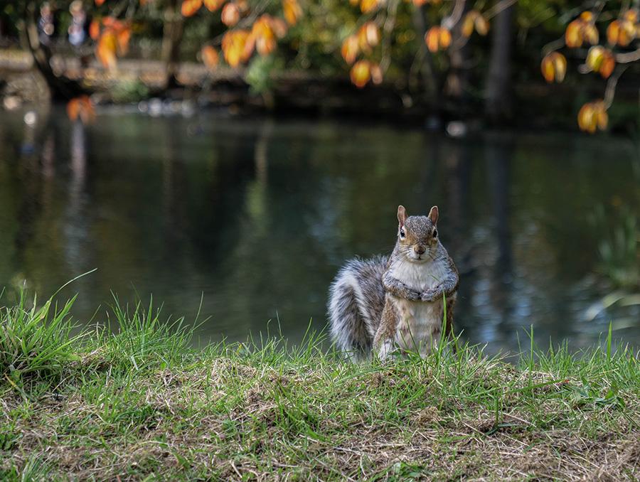 kelvingrove park parki w glasgow szare wiewiórki