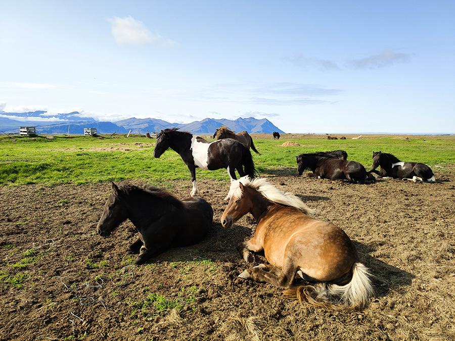 Dlaczego warto odwiedzić Islandię? konie na Islandii
