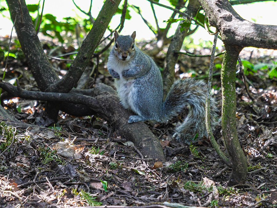 szare wiewiórki w szkocji linn park