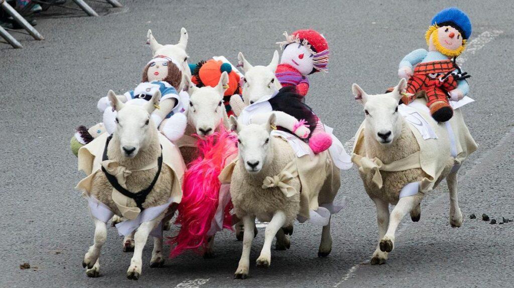 owce w Szkocji ciekawostki mało znane fakty