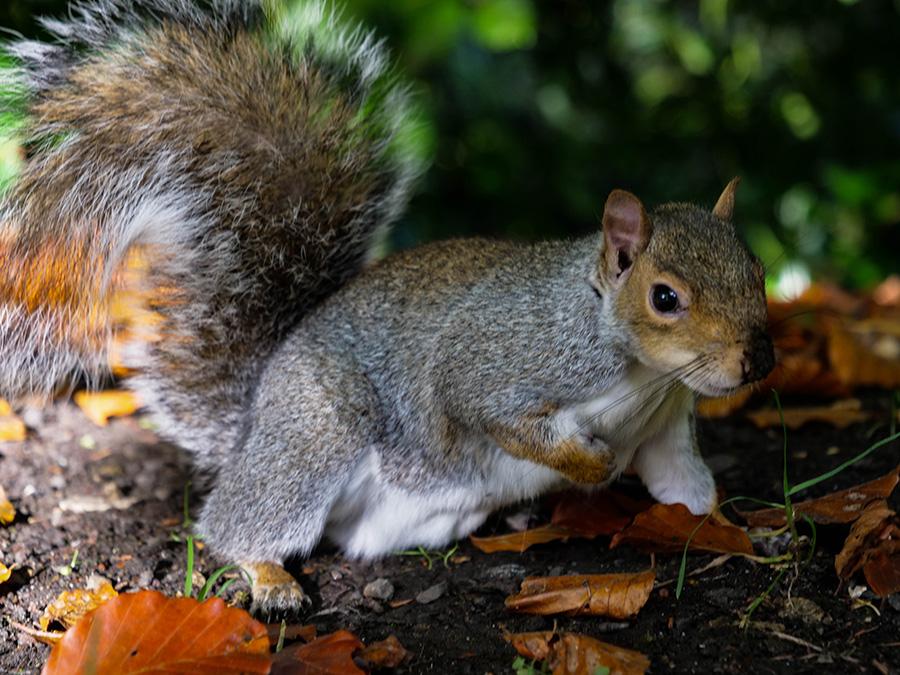 Ogród Botaniczny w Glasgow szare wiewiórki