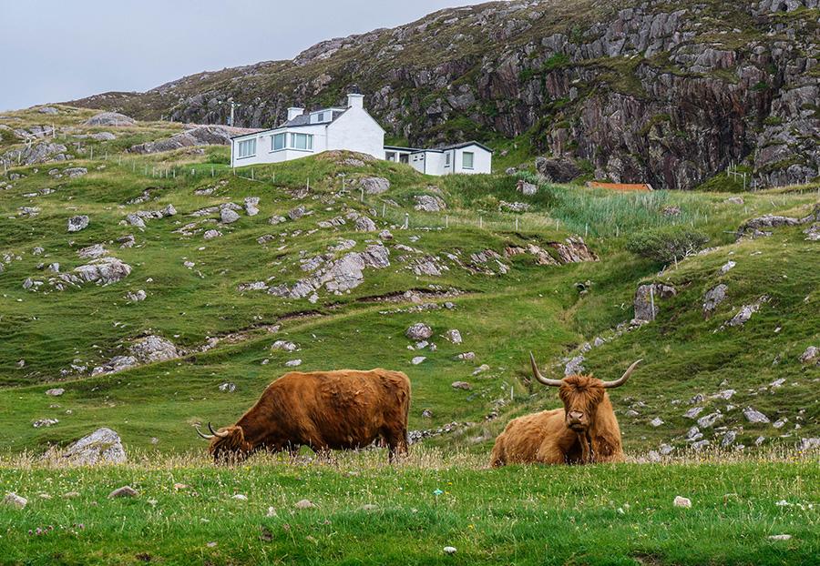 szkockie włochate krowy highland cattles
