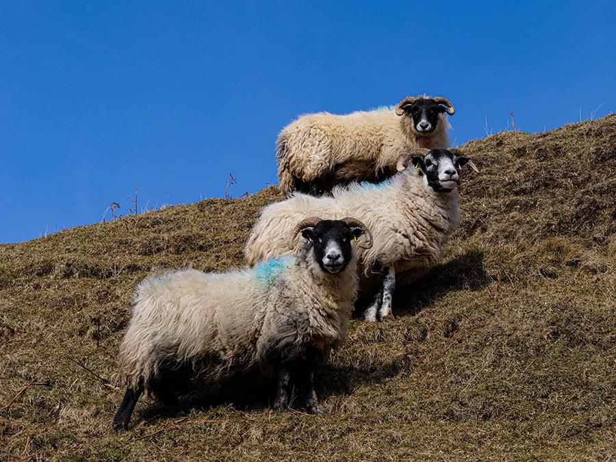 owce w szkocji