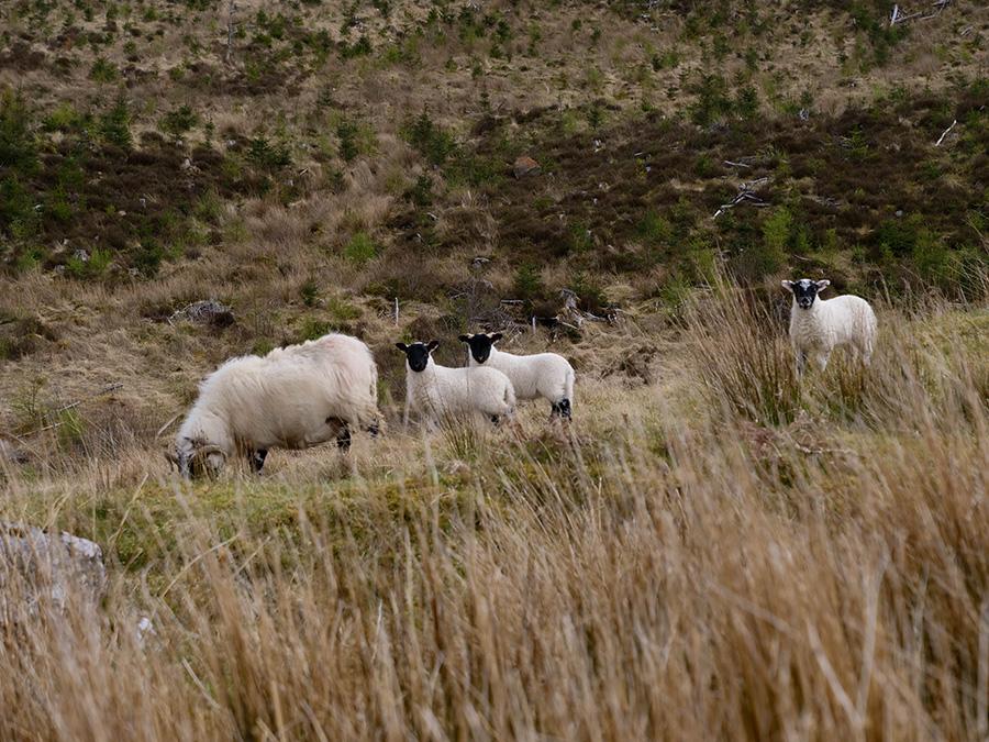 owce lambing w szkocji