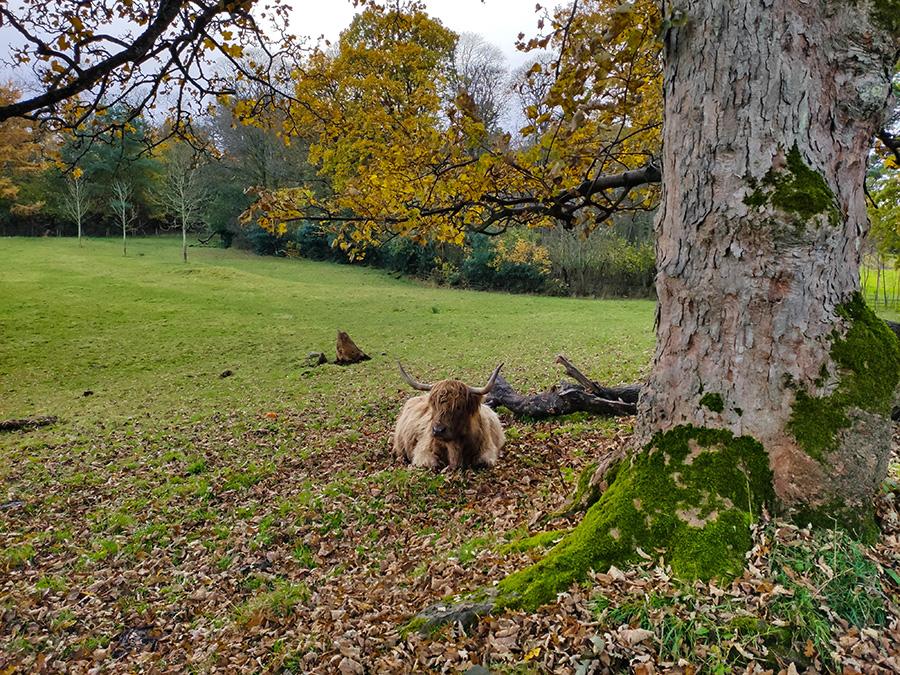 highland cattles w szkocji