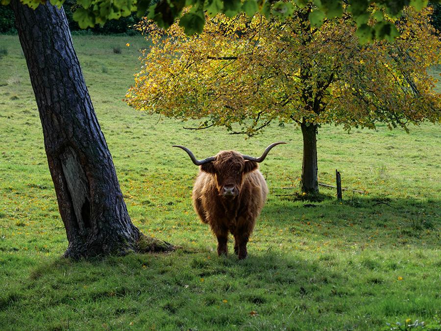 highland cattles w szkocji glasgow