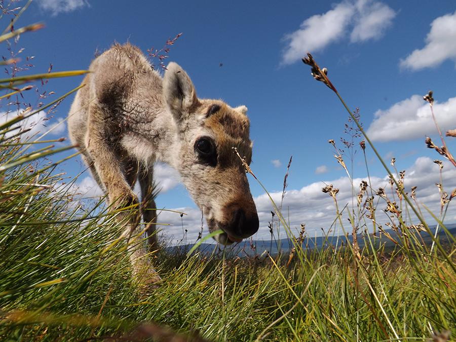 renifery park narodowy cairngorm szkocja