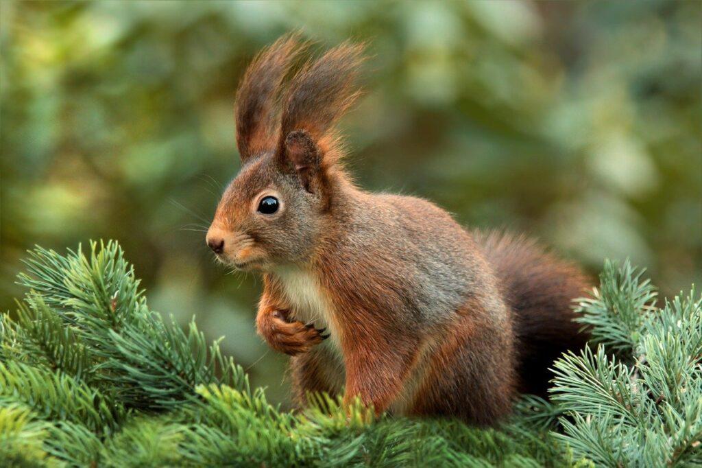 rude wiewiórki w Wielkiej Brytanii
