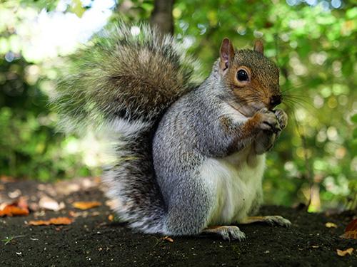 szare wiewiórki w Szkocji