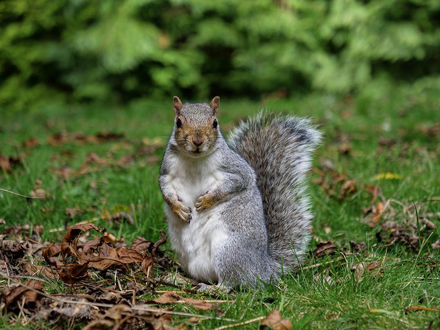 Szare wiewiórki w Wielkiej Brytanii