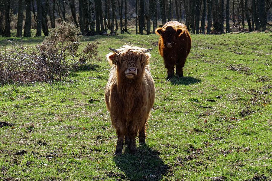 szkockie włochate krowy