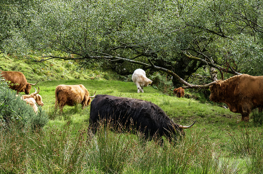 szkockie krowy w Szkocji Loch Fyne