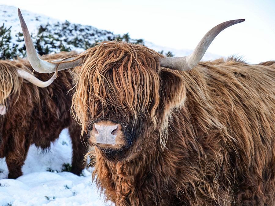 z czego znana jest Szkocja Highland Cattle włochate krowy
