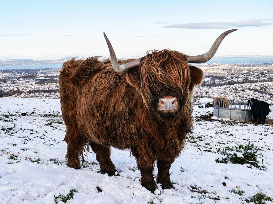 szkockie krowy w górach pentlandy