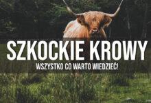 Włochate krowy ze Szkocji – wszystko co warto wiedzieć!