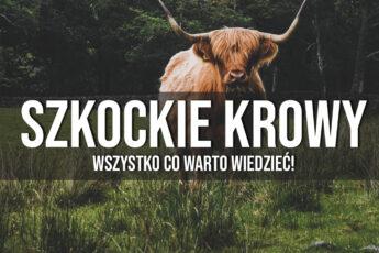 szkockie krowy ciekawostki historia