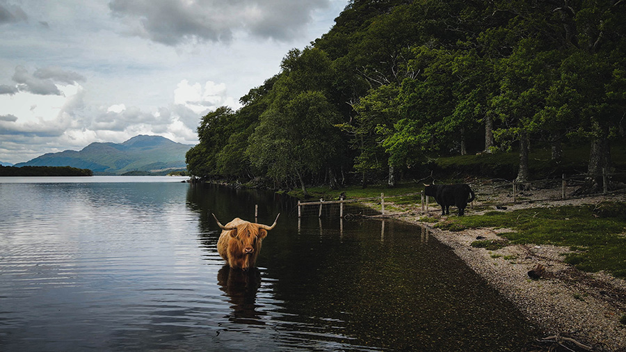 szkockie włochate krowy highland cattle loch lomond