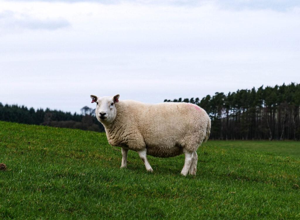 tinto owce w Szkocji