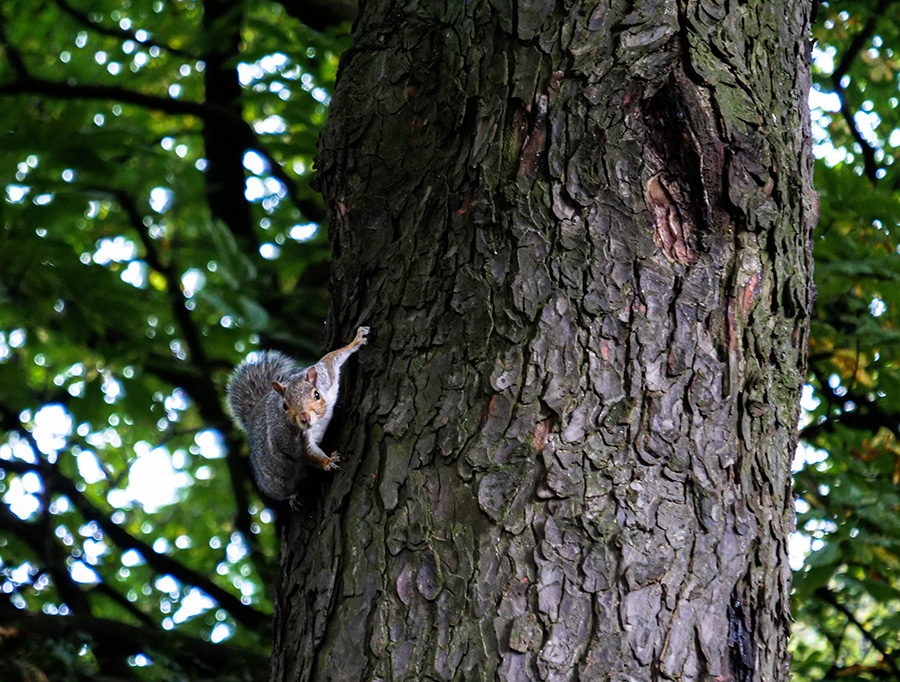 tollcross park szare wiewiórki