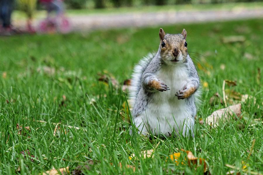 victoria park i staw w glasgow szare wiewiórki
